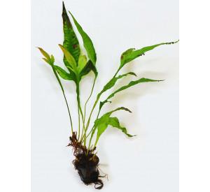 Microsorum pteropus (Микросорум Pteropus Папоротник)