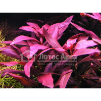 Alternanthera Reinecki Purple (Альтернантера)