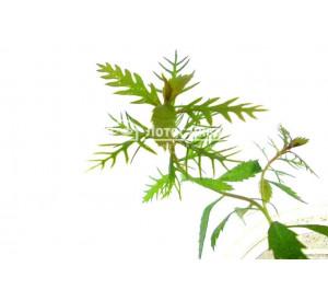 Proseprinaca Palustris (Прозерпинака палюстрис)