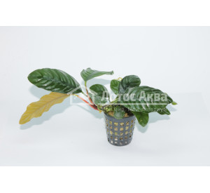 Anubias coffeefolia (Анубиас)