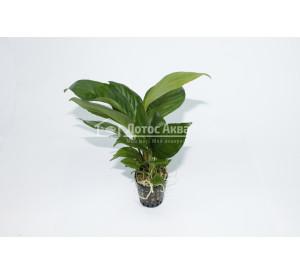 Anubias heterophylla (Анубиас Разнолистный)