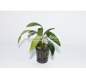 Anubias lanceolata (Анубиас Ланцетовидный)