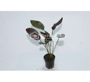 "Echinodorus uruguayensis var. 'Aflame' (Эхинодорус уругвайский вар. ""Эфлейм"" ""Пылающий"")"