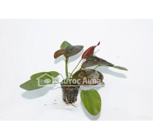 Echinodorus Hot Pepper (Эхинодорус Хот пеппер)