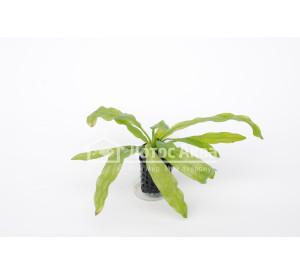 Echinodorus martii/major (Эхинодорус Майер)