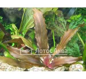 Echinodorus Janii (Эхинодорус Джани, Яні)