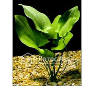Echinodorus Macrophyllus (Эхинодорус Макрофиллус)