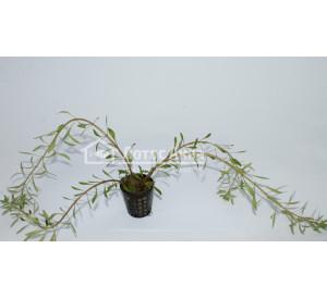 Ludwigia inclinata var. verticillata «Cuba» (Людвигия инклината «Куба»)