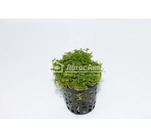Micranthemum umbrosum Monte Carlo (ø 5 см) Микрантемум Монте Карло