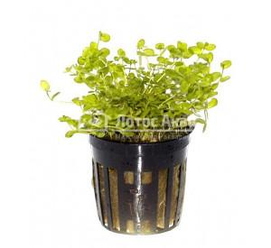 Micranthemum umbrosum (ø 5 см) Микрантемум теннистый