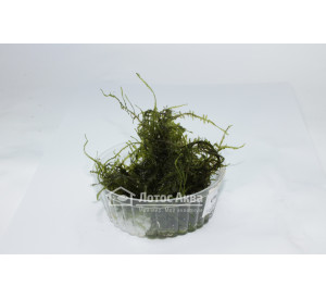 Giant moss (Taxiphyllum sp.) чаша 100 ml (Мох)