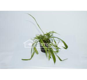 Echinodorus latifolius (Эхинодорус Латифолиус)