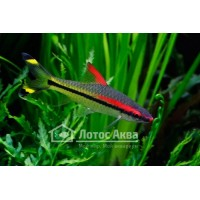 Барбус Денисони (Barbus Denisonii) (Puntius Denisonii)